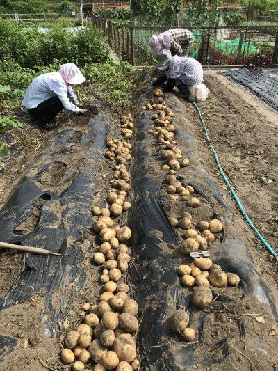 ジャガイモ収穫は・・・